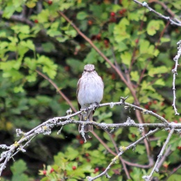 180827 spotted flycatcher (2)