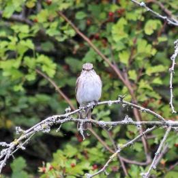 180827 spotted flycatcher (2)