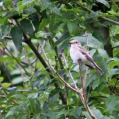 180827 spotted flycatcher (4)