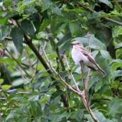 180827 spotted flycatcher (4)