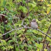 180827 spotted flycatcher (5)