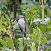 180827 spotted flycatcher (6)