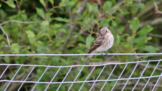 180827 spotted flycatcher (7)