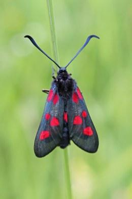 180828 5-spot burnet moth