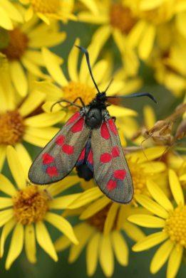 180828 6-spot burnet moth