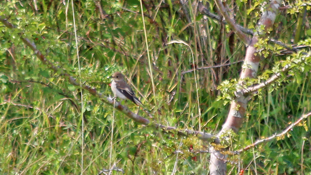 180901 pied flycatcher