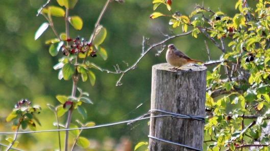 180901 Redstart female 2408