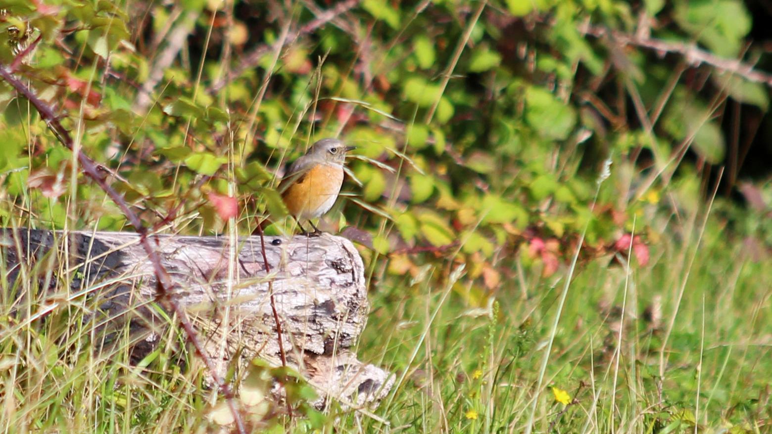 180901 Redstart male 2408