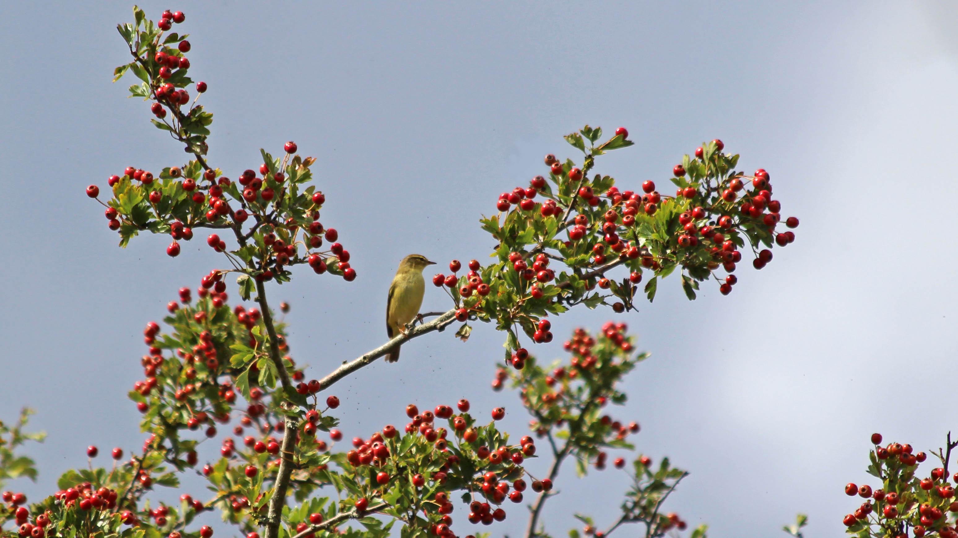 180901 willow warbler