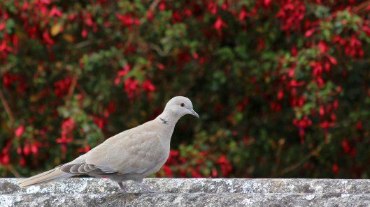 180902 collared dove (1)