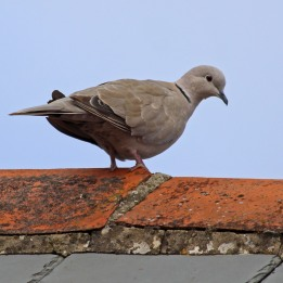 180902 collared dove (4)