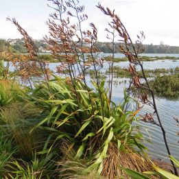 180903 New Zealand flax (1)