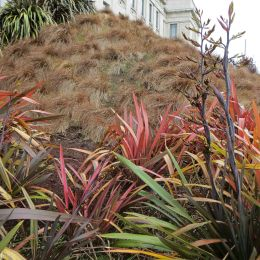 180903 New Zealand flax (3)