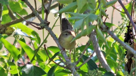 180906 grasshopper warbler (1)
