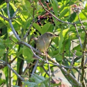 180906 grasshopper warbler (2)