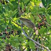 180906 grasshopper warbler (4)