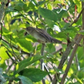 180906 grasshopper warbler (5)