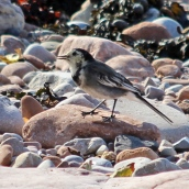 180913 pied wagtail (1)