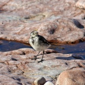 180913 pied wagtail (3)