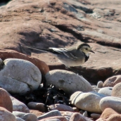 180913 pied wagtail (4)
