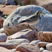180913 pied wagtail (5)