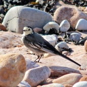 180913 pied wagtail (6)