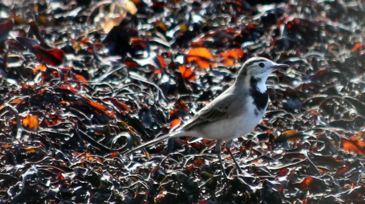 180913 white wagtail (1)