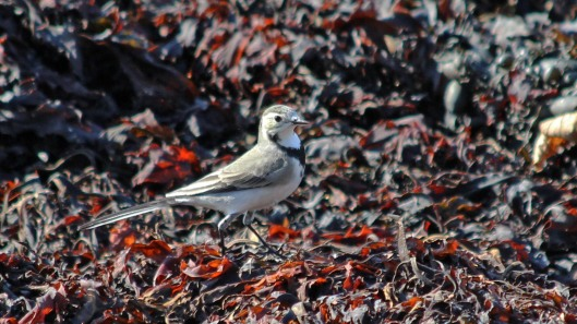 180913 white wagtail (2)