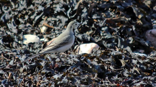 180913 white wagtail (3)
