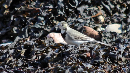 180913 white wagtail (4)