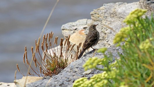 180914 Rock samphire and Rock pipit
