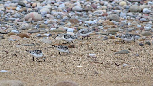 180917 birding at Kenfig (7)
