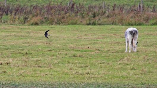 180918 birding goldcliff (9)