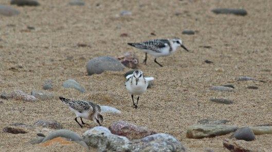 180922 sanderlings (2)