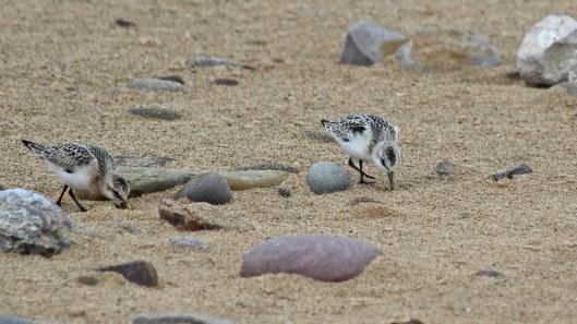 180922 sanderlings (3)