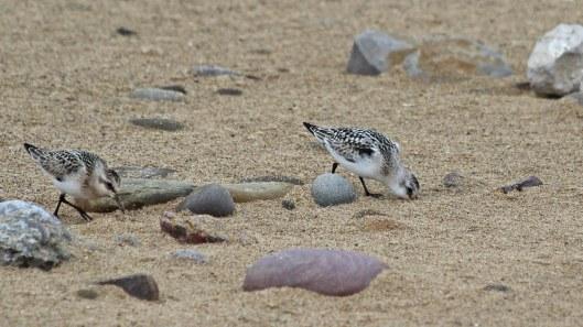 180922 sanderlings (3a)