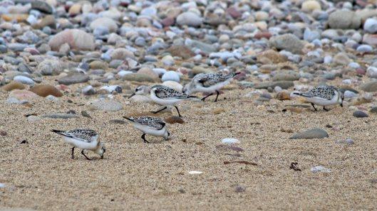 180922 sanderlings (4)