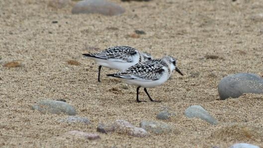 180922 sanderlings (5)
