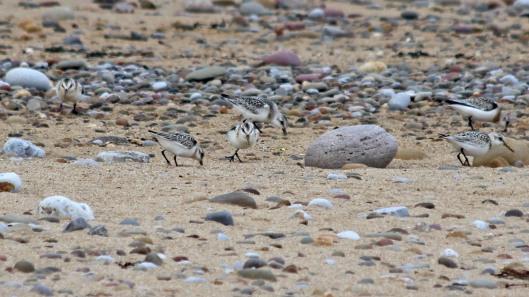 180922 sanderlings (6)