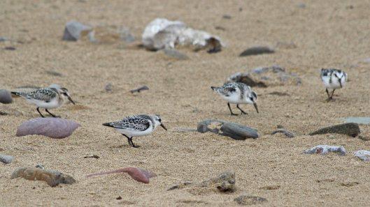 180922 sanderlings (7)