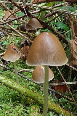 180925 Conical brittlestem (1)
