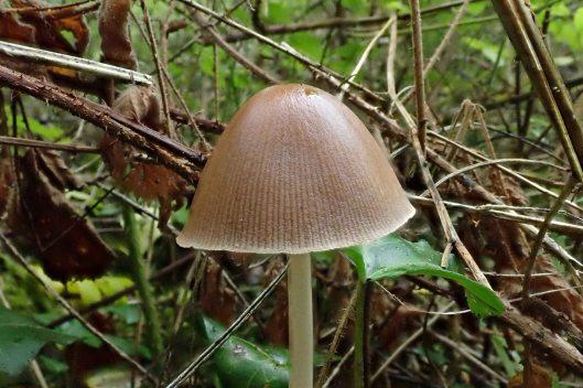 180925 Conical brittlestem (2)