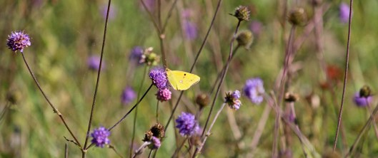 181001 Clouded yellow (1)