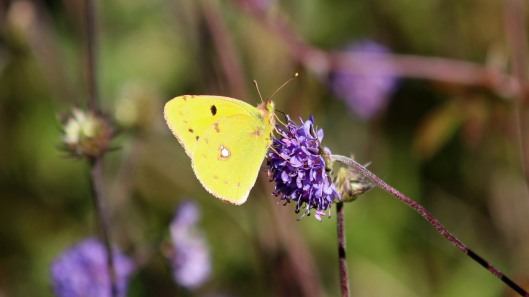 181001 Clouded yellow (2)