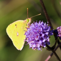 181001 Clouded yellow (3)