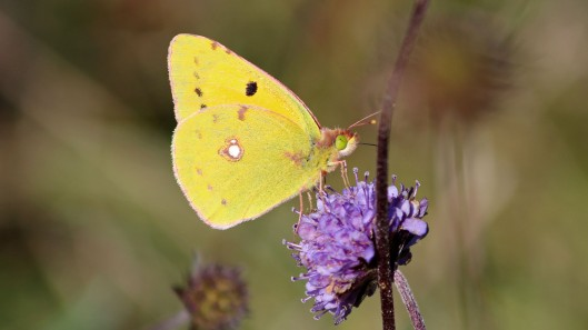 181001 Clouded yellow (5)