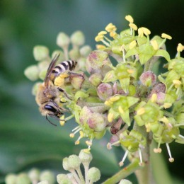 181008 ivy bee (2)