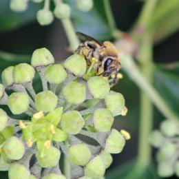 181008 ivy bee (3)