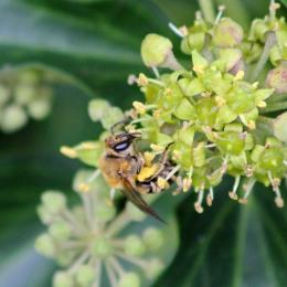 181008 ivy bee (4)