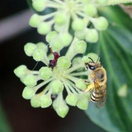 181008 ivy bee (5)